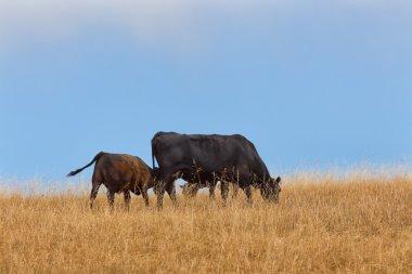 Calf Suckles Cow on Rural Hillside