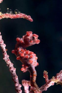 Pygmy Seahorse (Hippocampus bargibanti)