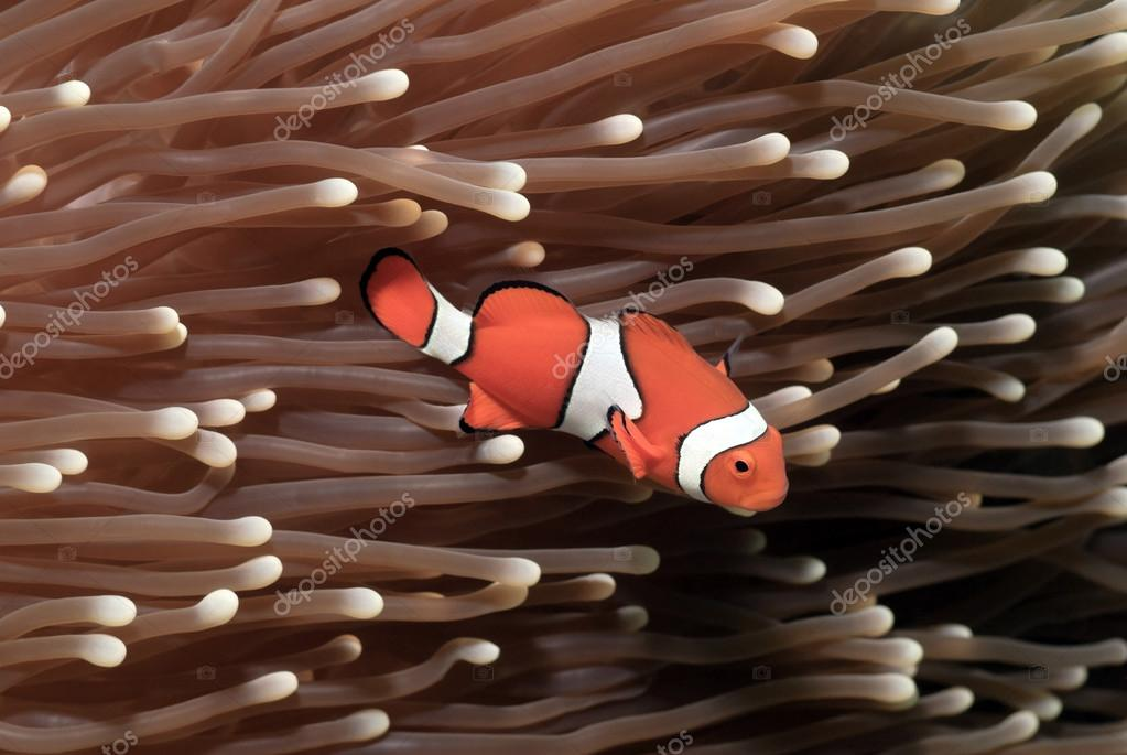 False Clownfish Amphiprion ocellaris in a Anemone