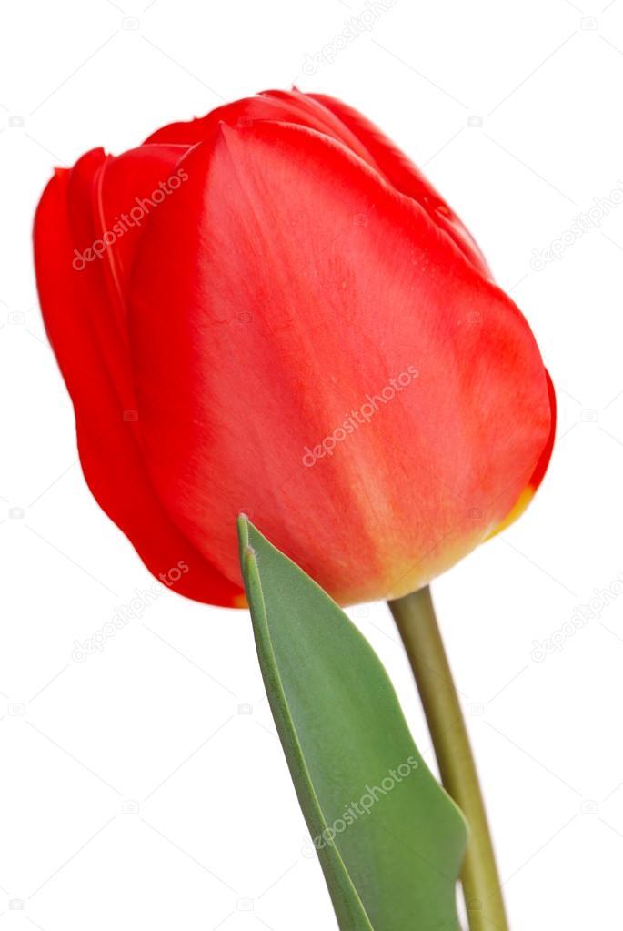 Один тюльпан фото
