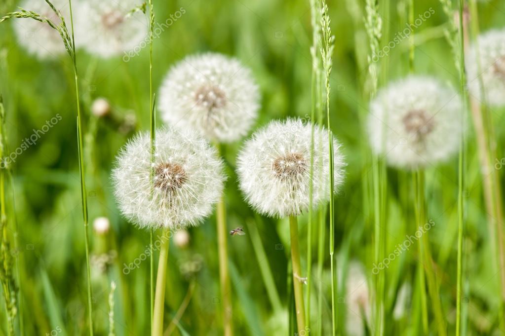 dandelions on sunny meadow