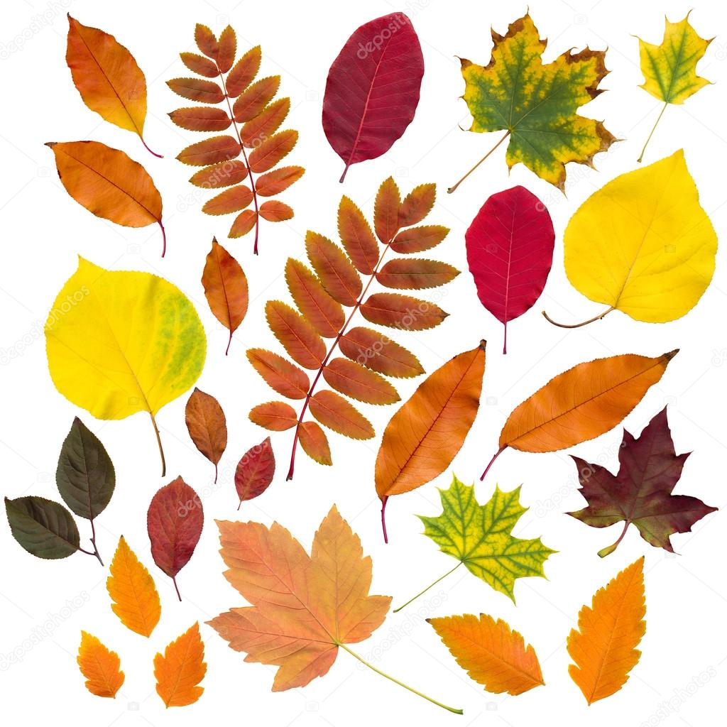autumn leaves collection isolated