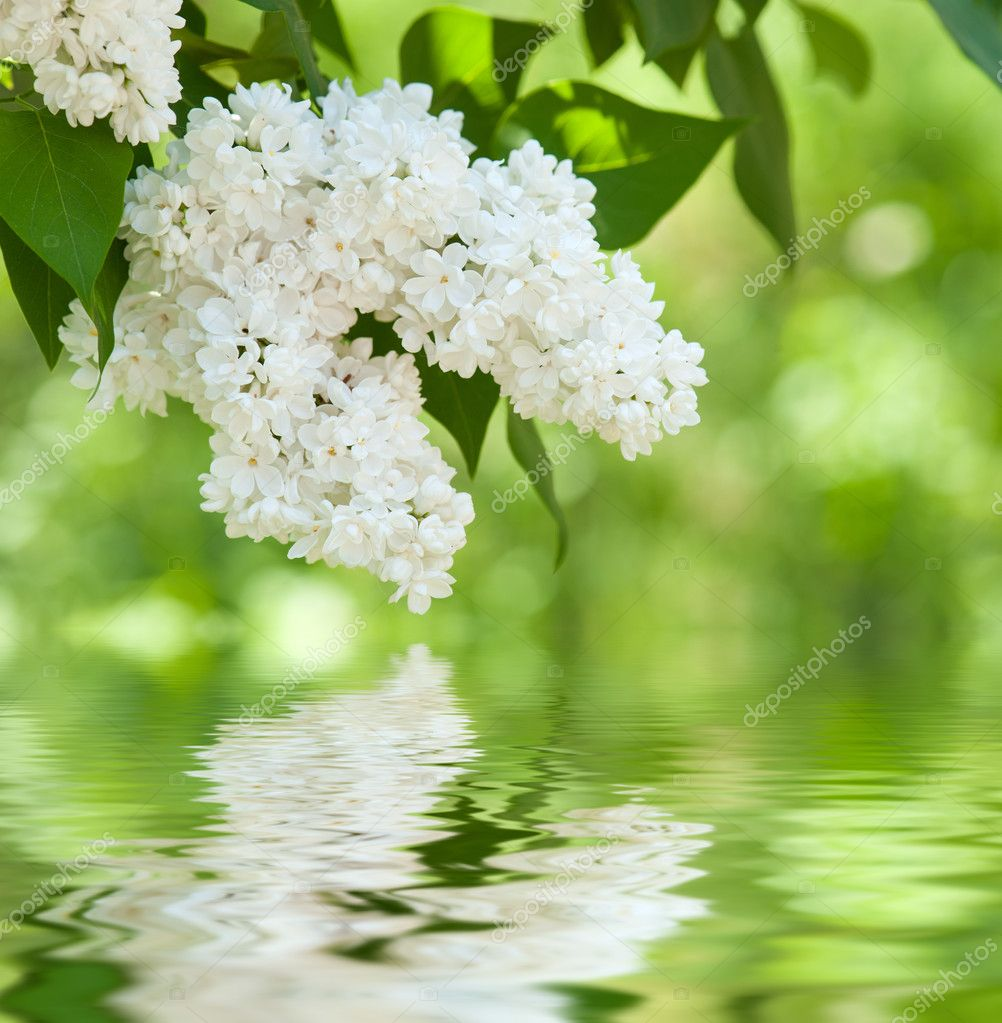 white lilac blossom in spring