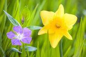 Narcis a Brčál na jarní zelená