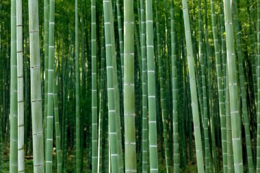dense bamboo forest
