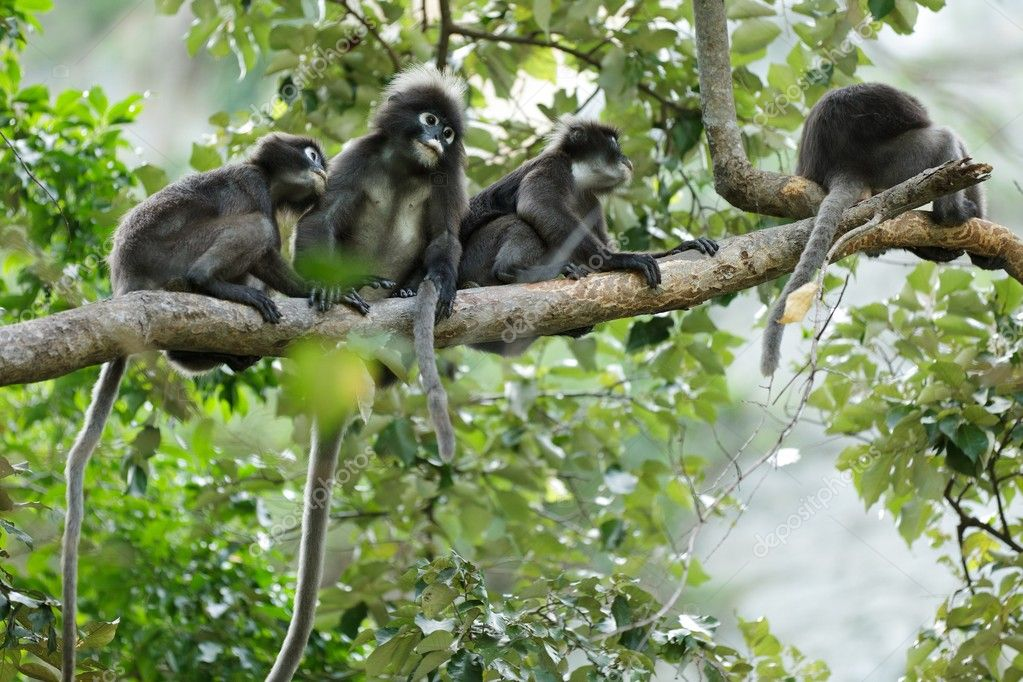 dusky leaf monkeys