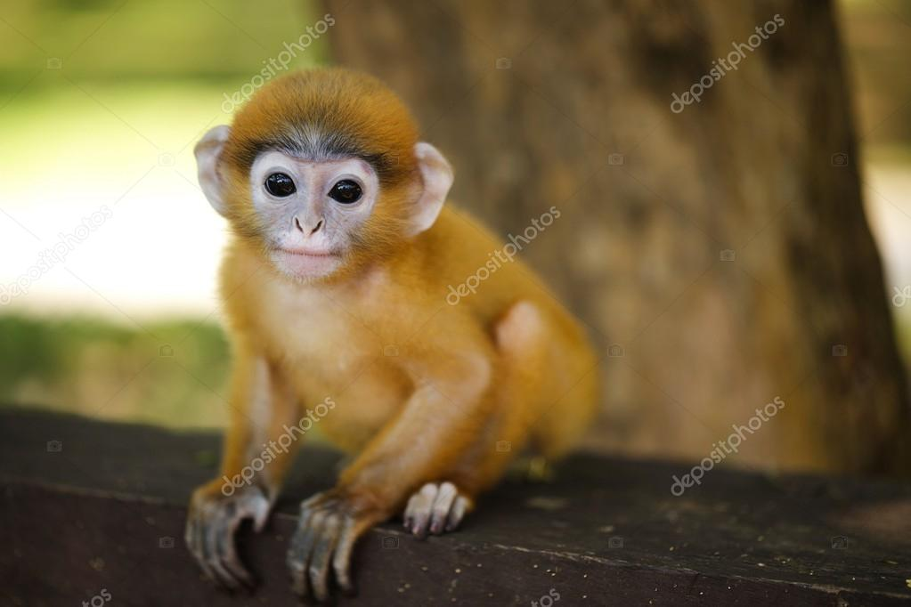 young langur ape sitting