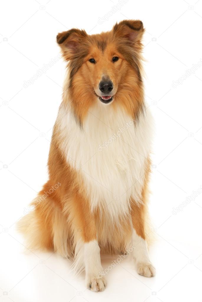 rough collie dog stock photo steamroller1 18176413