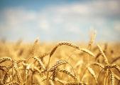 Fotografia Campo di grano dorato con cielo blu sfondo