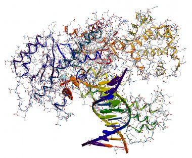 DNA polymerase I. An enzyme that participates in the DNA replica