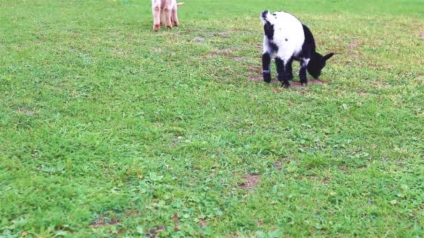 junge Ziegen mit seiner Mutter Ziege