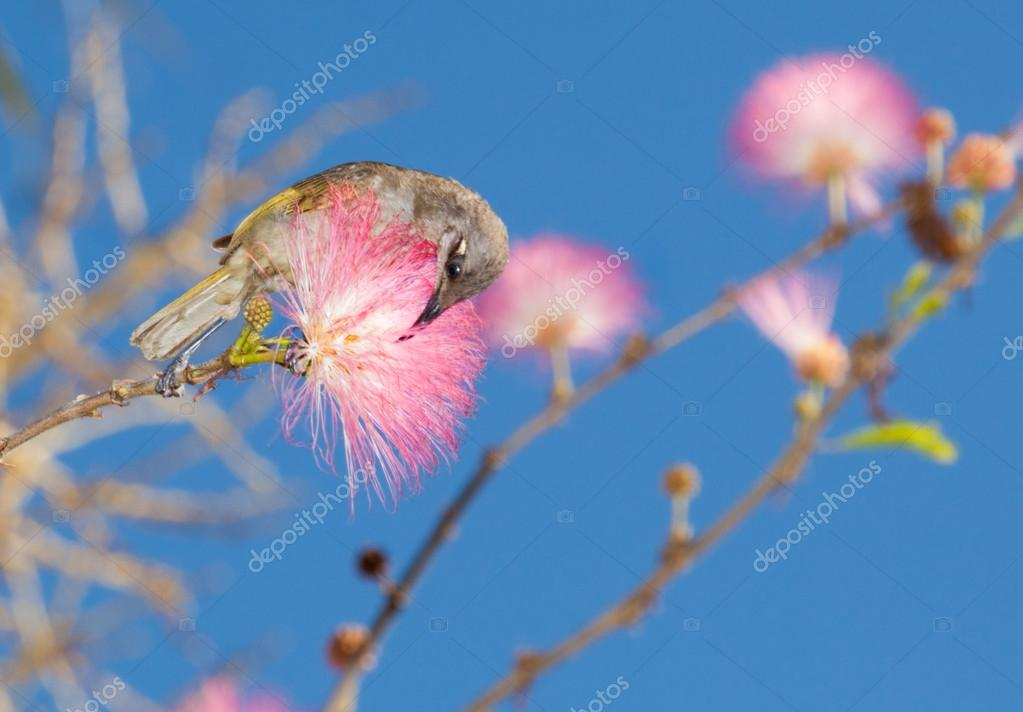 yellow honey eater in pink acacia tree