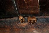 Fotografia pipistrelli al posto di tipton
