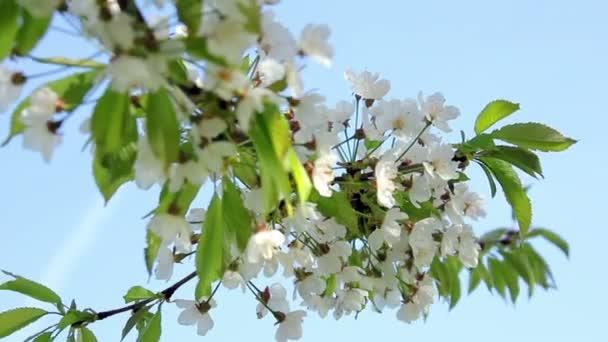 ovocný strom v květu