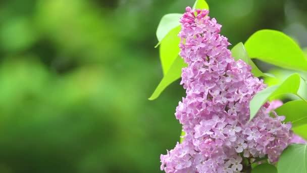 kvetoucí šeřík