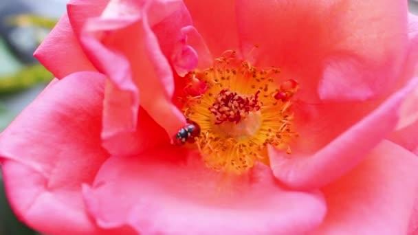 růžový květ s Beruška
