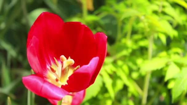 Vörös tulipán virág