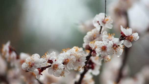 cseresznye virágok