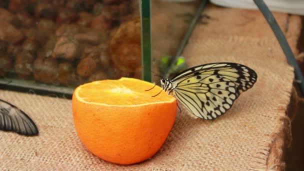 schönen Schmetterling
