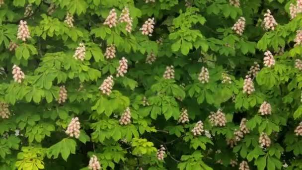 Kvetoucí kaštany