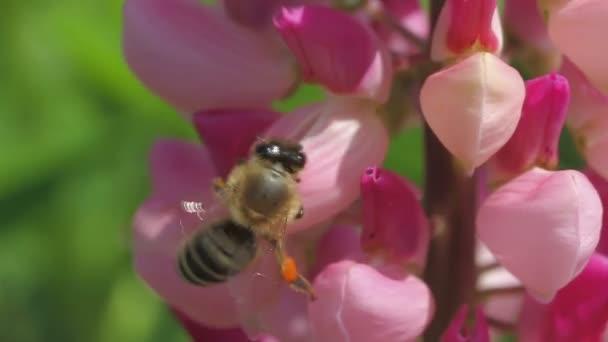 Biene sammelt Nektar der Lupine