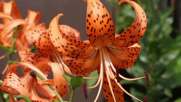 Blooming orange lily