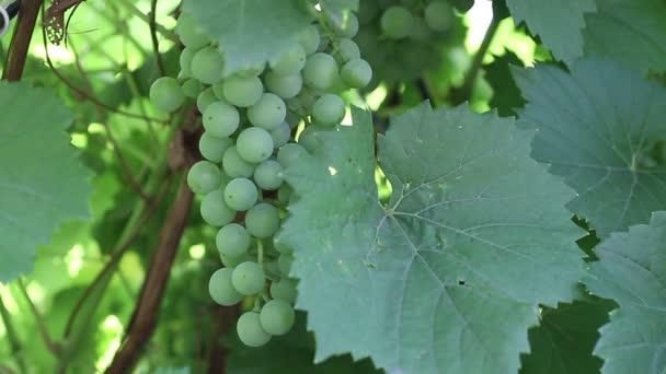 Unripe green grapes