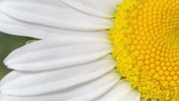 White daisy close-up
