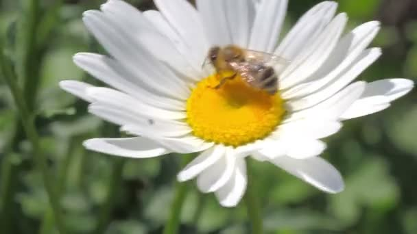 Bee on the white daisy
