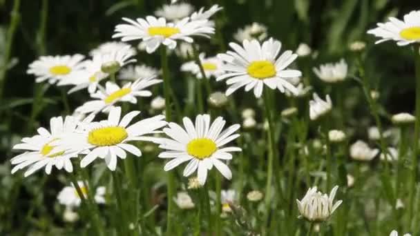White daisies in a garden