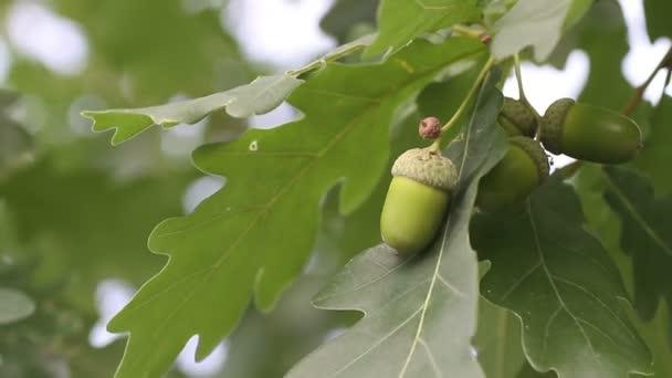 acorn with oak