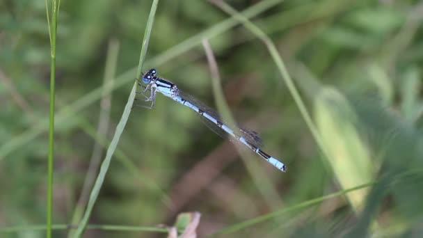 Közeli kép: kék egyenlő szárnyú szitakötők