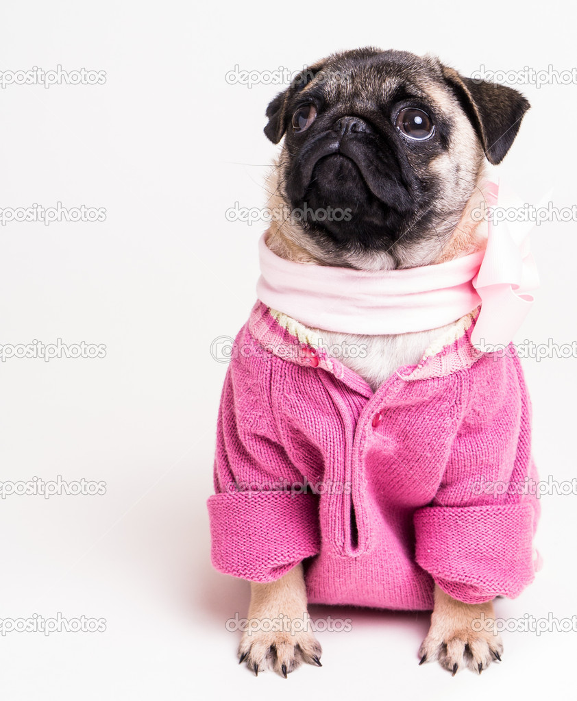 Popular Pug Bow Adorable Dog - depositphotos_13744412-stock-photo-cute-pug-puppy-dog-wearing  Perfect Image Reference_51856  .jpg