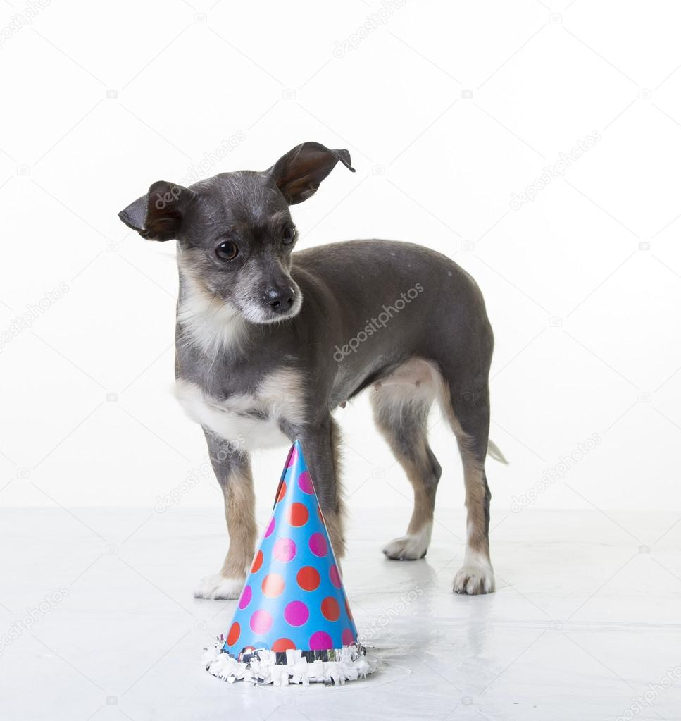 A Cute Small Dog With Birthday Hat