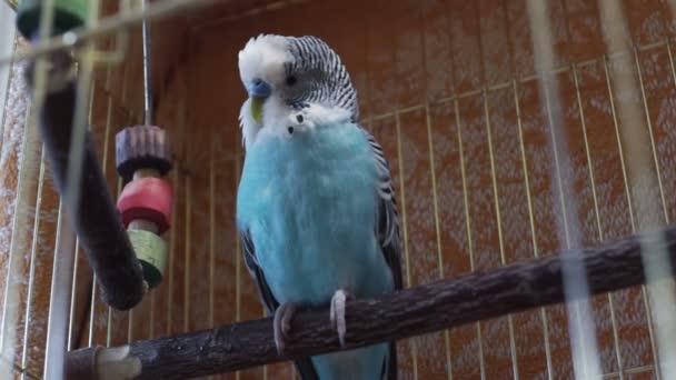 modrá Andulka sedí v kleci