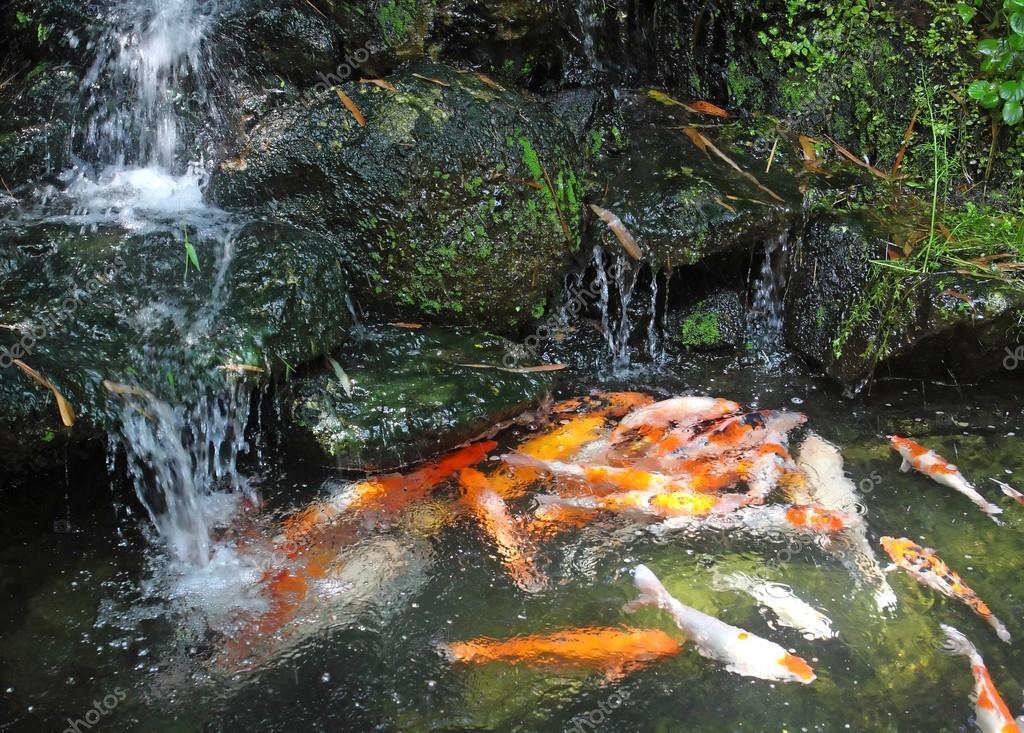 Estanque de peces koi con cascadas fotos de stock for Estanques de jardin con cascadas para peces