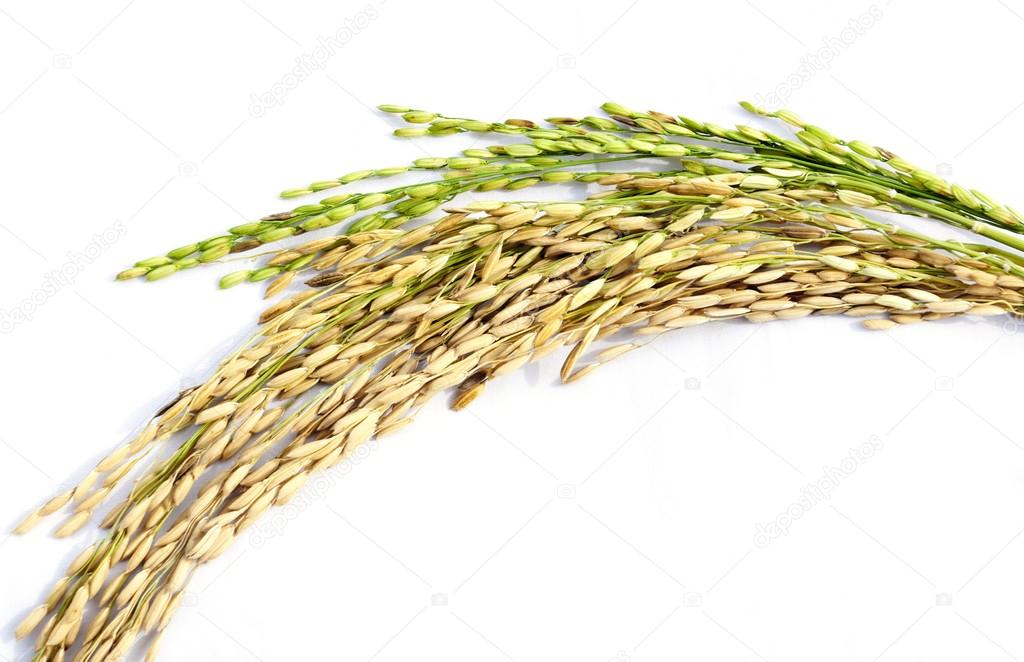 Close up of paddy rice on white background