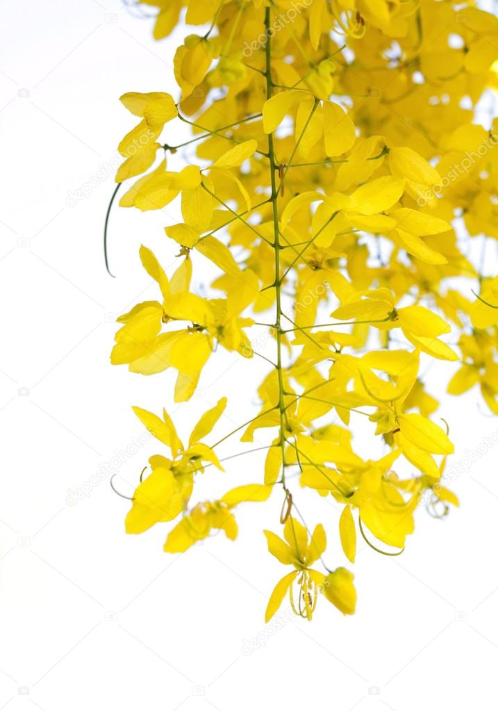 National tree of Thailand Golden Shower Tree
