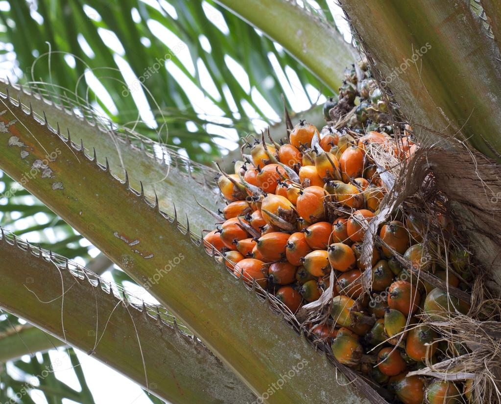 Palm oil, a well-balanced healthy edible oil is now an important