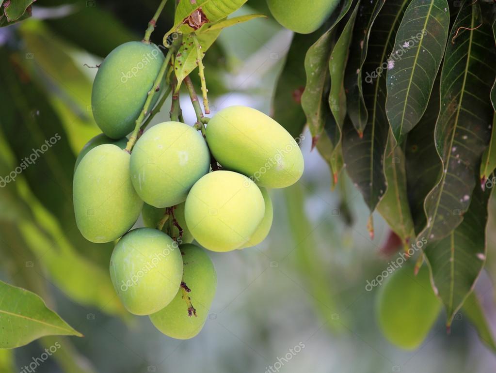 Fresh green mangoes