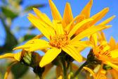 sárga virágot háttér