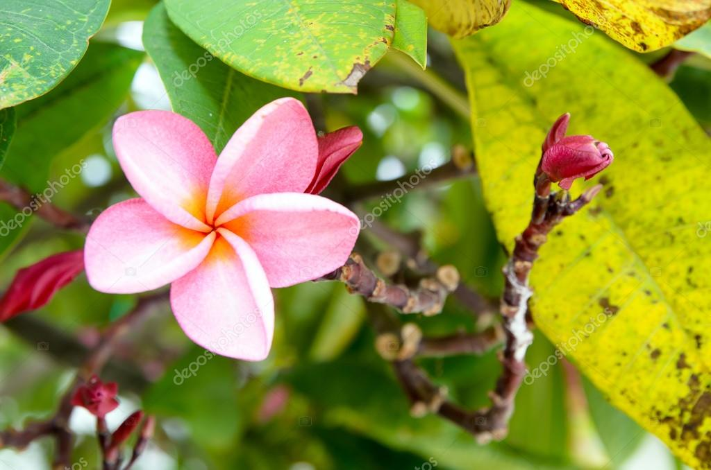 The Pink plumeria flower and buds on tree.
