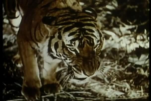 Tygr na lovu