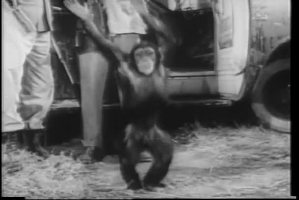 Széles lövés boldog majom szafari kamionnal tánc