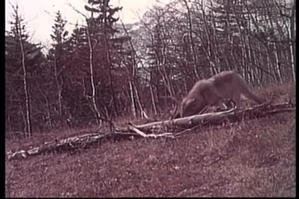 Wolf étkezési ragadozó vadonban