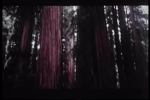Vörösfenyő fák Oregon-ig Pan