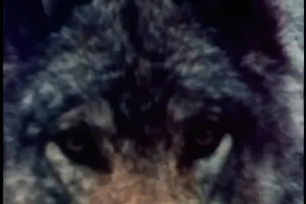 Közeli kép a wolf