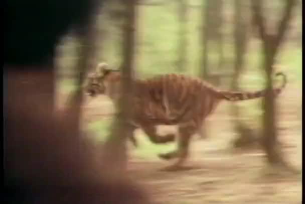 Férfi tigris vadászat erdőben