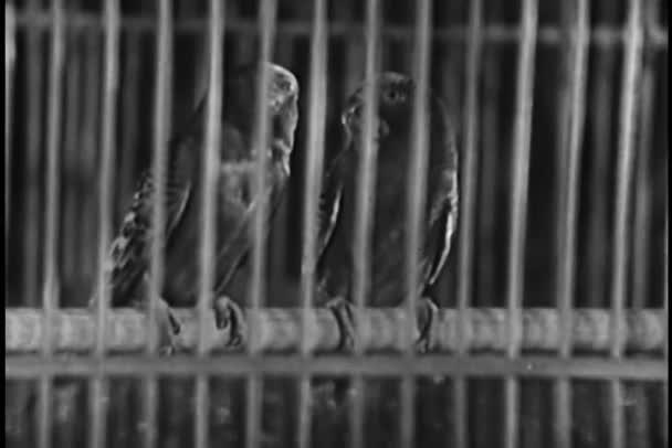 dva papoušci v klec
