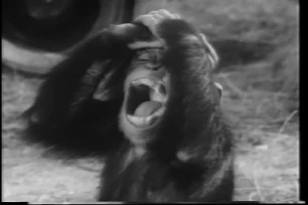 Close-up opice křičí: